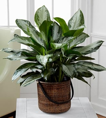 The Chinese Evergreen Plant